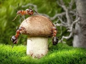 муравьи едят гриб