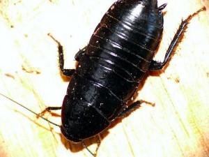 черный таракан в квартире