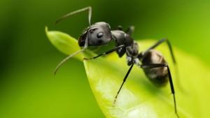 черный муравей на зеленом листе