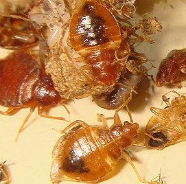 молодые личинки клопа