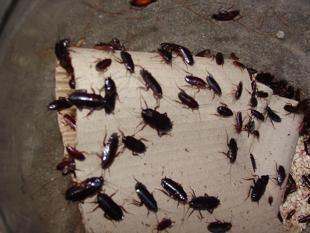 Тараканы как избавиться в домашних условиях