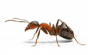 муравей на белом фоне