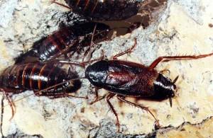 насекомые тараканы