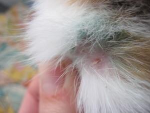 укус от блохи у кошки