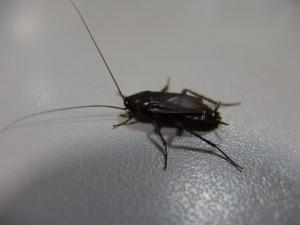 таракан на мебели