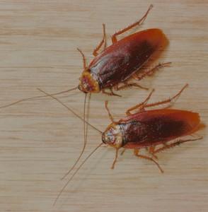 два рыжих таракана