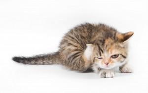 опасность блох для котят