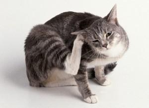 кошка чешется от блох