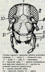 голова черного таракана