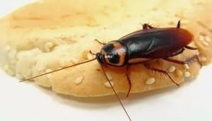 таракан на хлебе с кунжутом