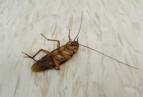 Убить тараканов в домашних условиях