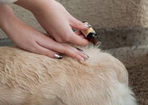 нанесение капель от блох собаке