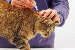 нанесение капель от блох на холку кота