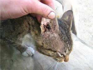 кошка больная отодектозом
