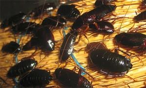 куча черных тараканов