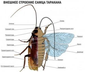 внешнее строение черного таракана