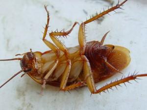 таракан кверху лапами