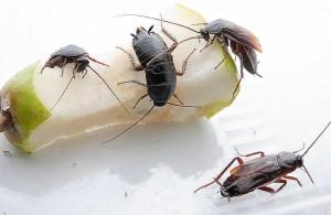 тараканы на огрызке