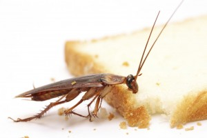 таракан ест кусок хлеба