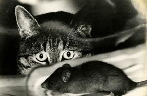 кот охотится на крысу