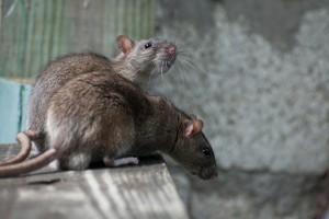 две крысы сидят