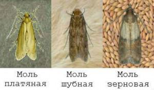 виды моли