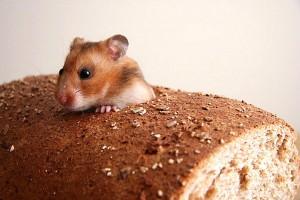 крыса в хлебе