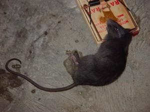 крысу убила ловушка