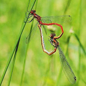 размножение стрекоз