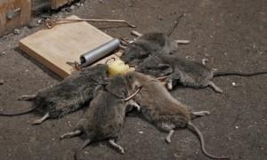 приманка для мышей