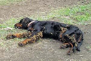 последствия от клеща у собаки