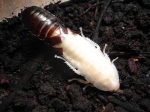 размножение мадагаскарских тараканов
