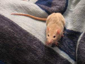 крыса на покрывале