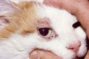 подкожный клещ у кошки вокруг глаза