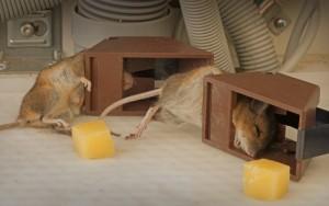крысы попались в ловушку