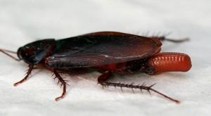 размножение домашних тараканов