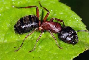 красногрудый муравей древоточец