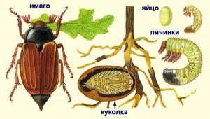 стадии развития жуков