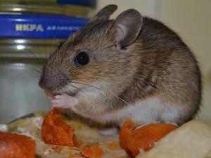 народные способы от крыс