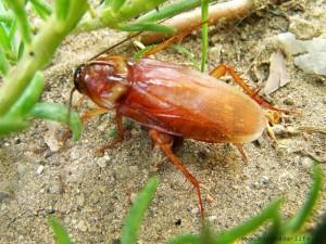 таракан в природе
