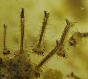 личинки комаров в воде