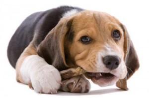 собака грызет кость