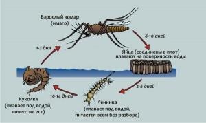 жизненный цикл личинки комара
