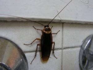 черный таракан на кухне
