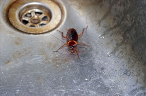 таракан в раковине пьет воду