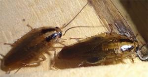 тараканы едят гель