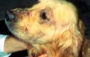 чесоточный клещ на морде у собаки