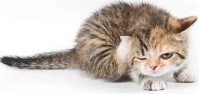 полосатый котенок чешется