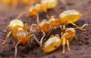 желтые домашние муравьи