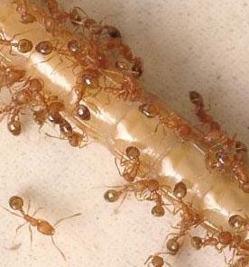 муравьи на трубочке